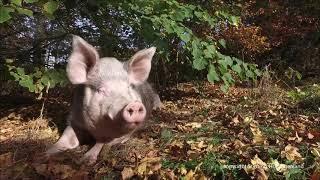 Download Das Schwein im Herbst Video