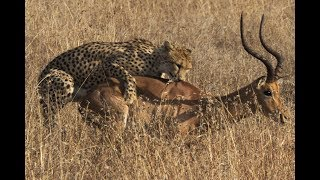 Download Cheetah hunts and kills an Impala (Kruger National Park, South Africa) Video