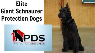 Download Elite Prufenpuden Giant Schnauzers by Protection Dogs For Sale Video