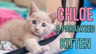 Download Rescuing Chloe, a Paralyzed Kitten Video