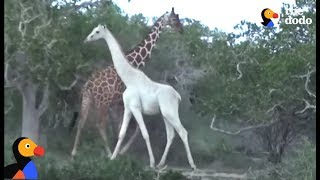 Download Rare White Giraffe And Her Baby Caught On Film | The Dodo Video