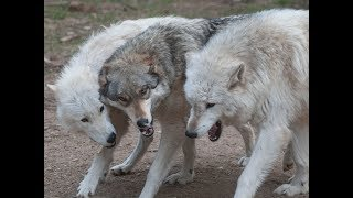 Download International Wolf Center - Live Webcams! Video
