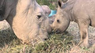 Download Ol Pejeta Vlog 5 : Ringo meets Sudan Video