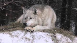 Download International Wolf Center - A Return to Chorus Howls - 5 March 2016 Video