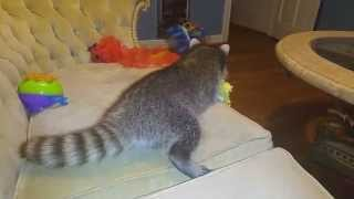 Download Heres my raccoon when she's in an aggressive mood Video