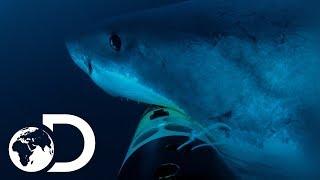 Download Deep Blue Hunts For Elephant Seals | Jaws Strikes Back Video