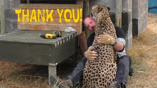 Download African Cheetah Thanks Man For Building Stair Steps To Help His Limbs | Big Cat Breeding Project Video
