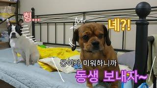 Download 동생을 다른사람에게 줄거라고 했더니 오빠 강아지의 반응 | 현실남매 Video