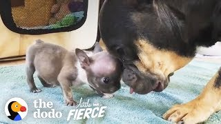 Download Watch this 1-Pound Bulldog Puppy Grow Up to Have the Most Amazing ROLLS | The Dodo Little But Fierce Video