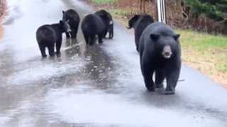 Download Momma Bear & 5 Cubs Video