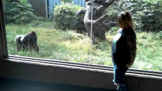 Download Must Watch!! Silverback Gorilla Showing Off & Following My Wife at the Omaha Zoo Video