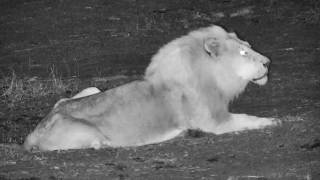 Download Djuma: Male Lion roars then lays down in the road-Pt:1 - 03:49 - 10/18/18 Video