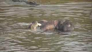 Download Chobe River: Crocodiles eating baby elephant Video