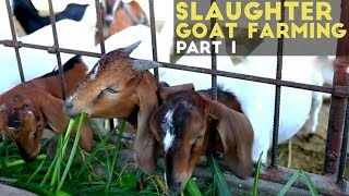 Download Slaughter Goat Farming Part 1 : Slaughter Goat Farming in the Philippines   Agribusiness Philippines Video