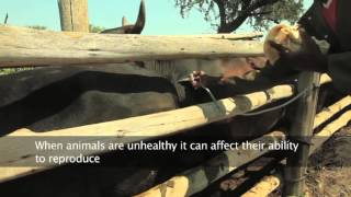 Download Building Livestock Farmer Resilience in Emergencies Video