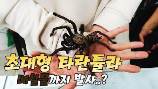 Download 초거대 산모 타란튤라! 배설물까지 발사함.... Giant Tarantula Handling Video