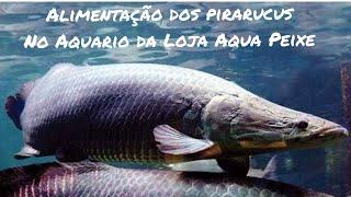 Download Tour completão pela Loja Aqua Peixe + alimentando os Pirarucus e Tucunarés. Video