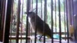 Download Merbah Kapur (Yellow-Vented Bulbul)01 Video