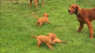 Download Irish Setter Puppies For Sale Amos and Sadie Stoltzfus Video