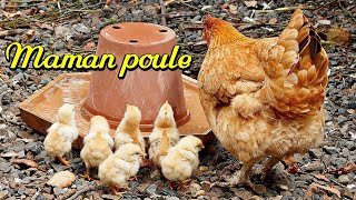Download MAMAN POULE 1. Poule Pondeuse. Baby Chicks and Mother Hen. Over-Parenting Video