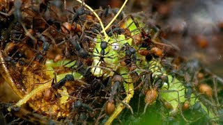 Download Army Ants Rampage Through The Forest - The Hunt - BBC Earth Video