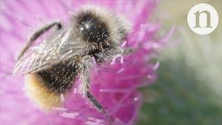 Download How to help pollinators in cities Video