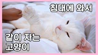 Download 주인이 자러가면 침대로 와서 같이 자는 고양이 😍 개냥이 꼬부기 Video