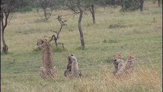 Download Cheetah with five cubs Video