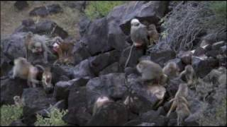 Download The Hamadryas Baboon Video