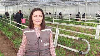 Download Syrian refugees harvest greenhouse vegetables in emergency funded pilot project. Video