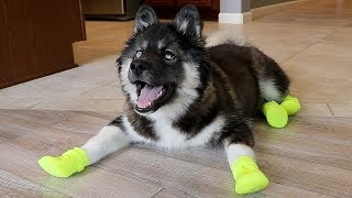 Download Funny Huskies Try Shoes For The First Time! Video