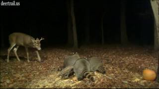Download Highlights From Bucks Battling Raccoons (One, Two and Three) Video