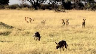 Download Lion vs. Wild dog Video