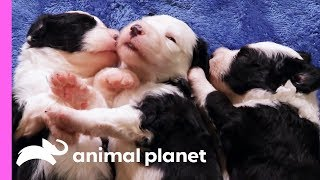 Download Gracie The Protective Sheepdog Pup Keeps All Her Siblings In Check | Too Cute! Video