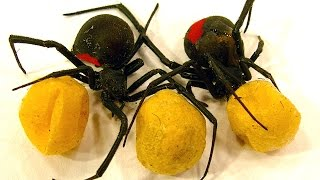 Download Spider Egg Sac Vs Mortein Bug Spray Redback Spiderlings Dead Or Alive (Graphic Video) Video