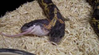 Download Two Heads Snake eating The Reptile Zoo Amazing! Video