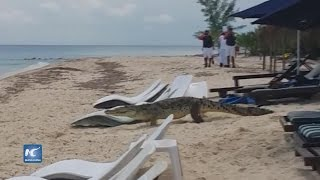 Download Turistas graban cocodrilo paseando en playa de Cozumel Video