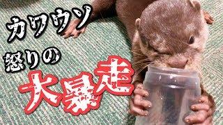 Download ミーアキャットに負けたカワウソが大暴走!!【しゃもじ】【モナカ】 Video