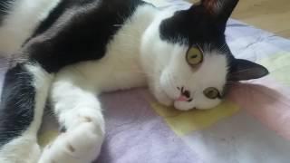 Download 턱시도고양이 멍때리기 Video