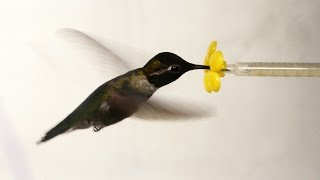Download What Happens When You Put a Hummingbird in a Wind Tunnel? | Deep Look Video
