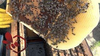 Download Pasieka Początkującego Pszczelarza - #90 Wiosenny rozwój - kwiecień 2018 Video