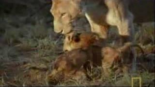 Download Hyena Scavenges Lion Cub Video