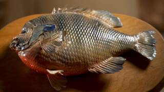 Download Missouri Record Fish Stories - Bluegill Video