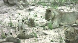 Download Evening Encounter: Lion Pride with newborn cubs Video