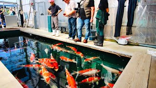 Download What is it like to buy Koi in Japan? Join us for our most recent trip to Japan Video