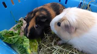 Download Vlog: Traveling with Guinea Pigs & Seeing Domino and Lulu Video