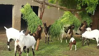 Kamori goats complete documentary| Goat farming Free Download Video