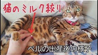 Download 子猫をなくしたベンガル猫のベルの乳絞りの様子 Video