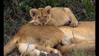Download SafariLive Oct 11 - Always cute...Lion cubs! Video