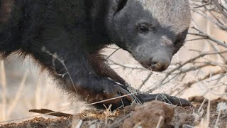 Download A Honey Badger Barrels Through a Sharp Thorn Tree for Lunch Video